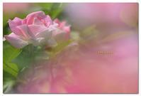 薔薇   ケアフリーワンダー  - toru photo box