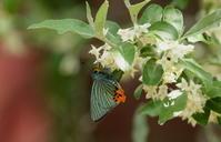初夏 その3 - 紀州里山の蝶たち