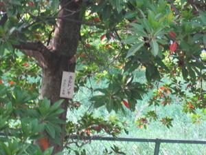 ホルトの樹 - はなみずきによせて