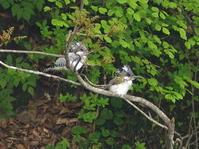 ヤマセミ - 今日の鳥さんⅡ