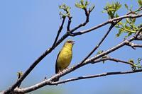 過去の出会い:ノジコ - 武蔵野の野鳥