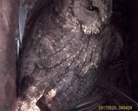大コノハズク 孵化 - おらんくの自然満喫