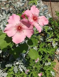 アトリエにもジャルダンローズが咲き始めました - お花に囲まれて