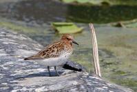 今日の鳥見(2017年5月23日) - ほとんど野鳥写真日記