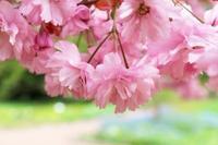 八重桜と桜チュイール - ドイツでお茶です