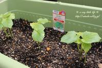 ベランダ菜園のオクラを植替え - a cozy little life