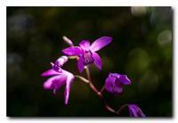紫蘭。 - 気まぐれフォト