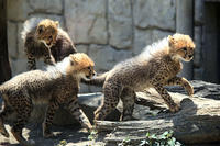 走って遊ぶ チーターの3兄妹 - 動物園放浪記