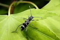 ヤマトシロオビトラカミキリ - Insect walk