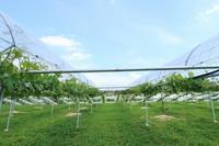 葡萄園の新緑 - 葡萄と田舎時間