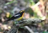 Narcissus Flycatcher - AVES