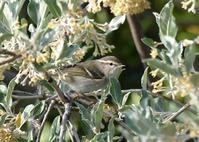Yellow-browed Warbler - AVES