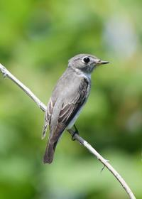 Asian Brown Flycatcher - AVES