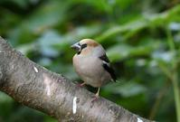Hawfinch - AVES