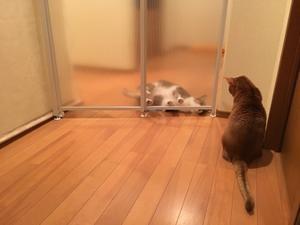 茶タロウVS女ボスチロ(動画) - 「両手のない猫」チビタと愉快な仲間たち
