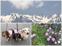 17年5月23日 涼し過ぎるあさんぽ(笑) - 旅行犬 さくら 桃子 あんず 日記