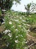カレー香りの花満開で見学会 - 「ハーブガーデン平田」への道