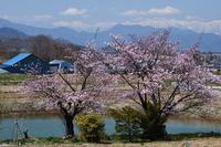 桜と雪山景色 - photograph3
