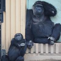 ゴリラ屋外展示再開!京都市動物園 - ヒトのたぐい ゴリラと愉快な仲間たち