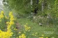 菜の花畑でキジ散歩 - ekkoの --- four seasons --- 北海道