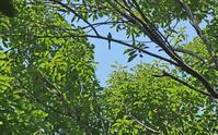 森の妖精、サンコウチョウ Japanese Paradise Flycatcher - 素人写人 雑草フォト爺のブログ