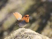 続コマドリ - 『彩の国ピンボケ野鳥写真館』