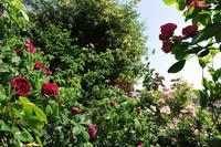 やっとニュードーンが咲いてきた庭 - Reon&Roses+Lara