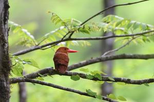 新緑を背景に、アカショウビン - 鳥・撮り・トリミング
