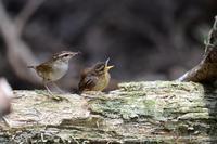ヤブサメの親子 - Pota photo ~ birds & nature ~