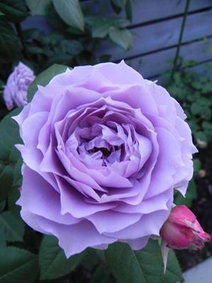 バラ日記 - ハッピーマニア