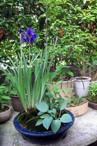 菖蒲(あやめ)の寄植え - リリ子の一坪ガーデン