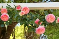 離宮公園の薔薇 ~薔薇スナップ - 静かな時間