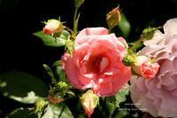 離宮公園の薔薇 ~暑くなってきました。そして、 - 静かな時間