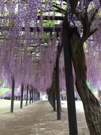 大町藤公園 - 京都ビジネス学院 舞鶴校