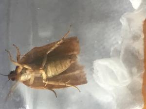 クロウメモドキ科の草木と蛾の種類 - 写真と短い文章 5