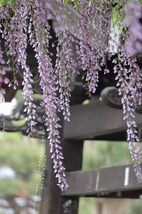 紫藤 - cache-cache