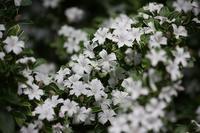 満開の白丁花に、己の不明を恥じる。 - 万願寺通信