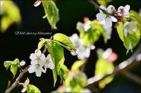 本州で一番遅い桜 - ハーブガーデン便り