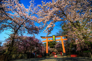 桜2017! ~平野神社~ - Prado Photography!