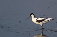 やっと会えました ソリハシセイタカシギ - 野鳥公園