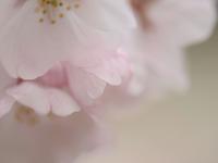 **  桜の頃  -  余韻  ** - 屋根裏部屋の落書帳