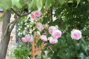 薔薇 モンクゥールとアカンサスモリス - 緑のチョーカー