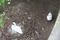 白鳥の巣ー7 - 料理下手妻と食いしん坊旦那のフランス留学