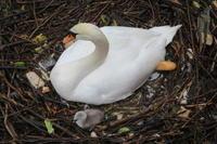 白鳥の巣ー8 - 料理下手妻と食いしん坊旦那のフランス留学