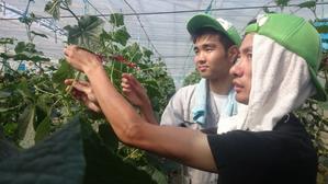 農福連携「胡瓜の吊り下げ作業」「玉ネギ収穫」 ・果樹園除草作業 - ジョブファーム活動ブログ