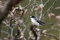 スマートな体形:サンショウクイ - 武蔵野の野鳥