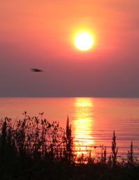 オグロシギ:華麗な夏羽姿:2017舳倉島探鳥① - バード・アイ・ライフ