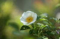 今年の薔薇  - 風の彩り-2