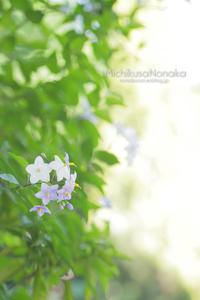 My Garden*2017初夏①ツルハナナス - みちくさのなか
