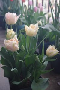 華やかな八重咲きチューリップ「チャーミングビューティ」 - お散歩日和ときどきお昼寝